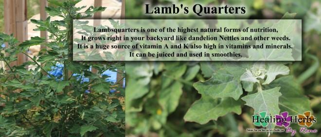 lambs quarters