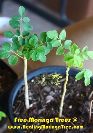 free moringa trees3