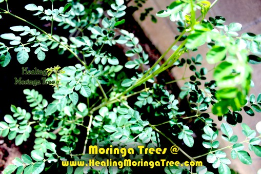 FREE MORINGA TREES @ HealingMoringaTree.com