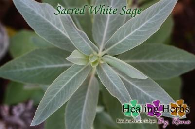 sacred white sage